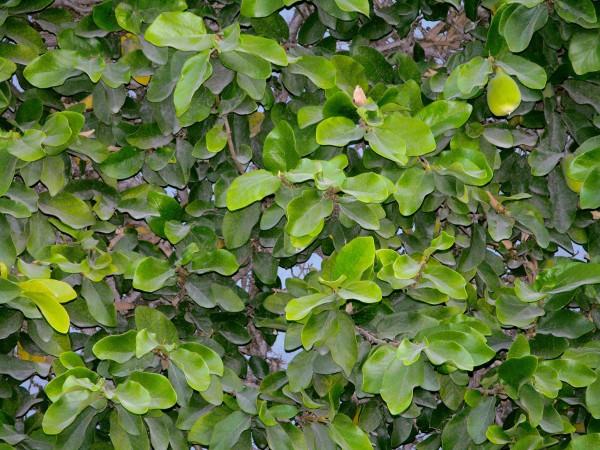 A fig on a vine.