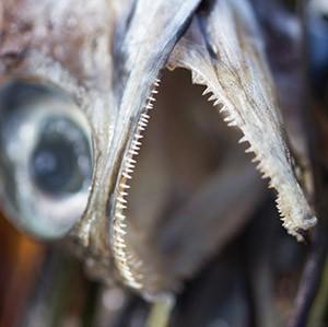 Dylann-Turffs-Fish-Die-Off---Teeth-Macro.jpg
