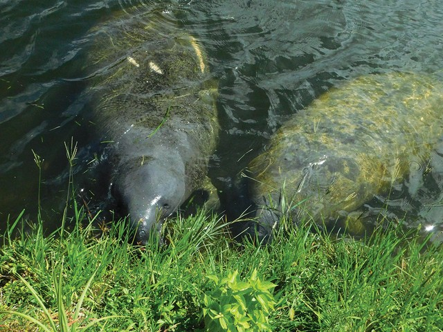 manatees-eating-grass-near-S-27-flood-control-device-in-Little-River.jpg