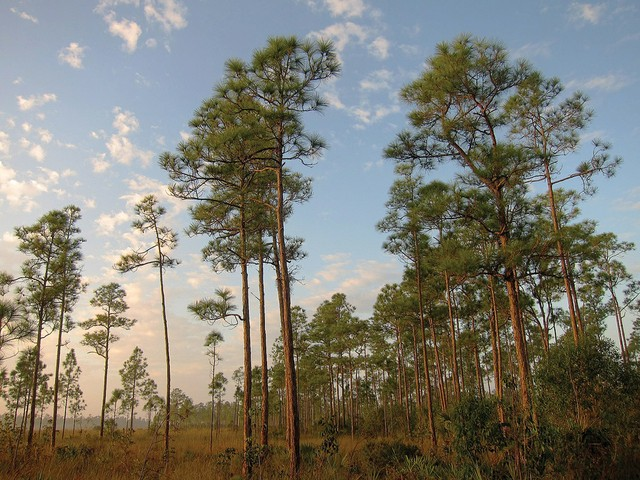 Biscayne-Times-South-Florida-PineRockands-1440px-South_Florida_rocklands_on_Everglades_National_Park_Long_Pine_Key_Nature_Trail.jpg