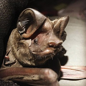 Florida_bonneted_bat_(Eumops_floridanus)_photo_by_Shalana_Gray.jpg