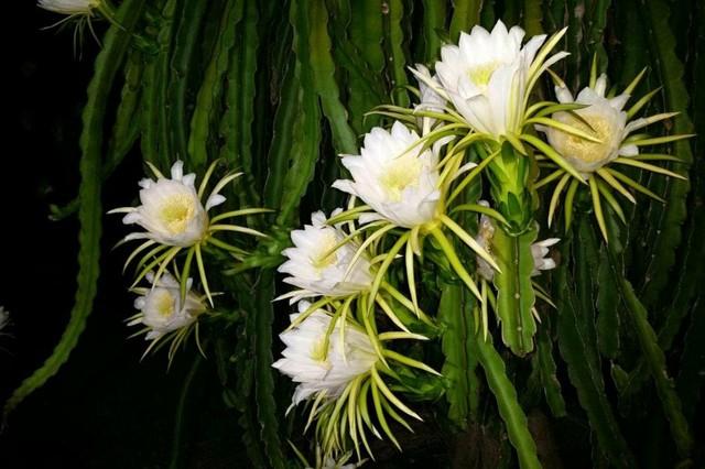Flowering Dragon Fruit.jpg