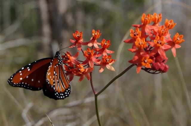 Big Cypress National Preserve Queen Butterfly on Prairie Milkweed.jpg