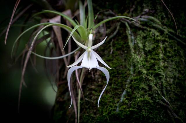 Big Cypress National Preserve Ghost Orchid.jpg
