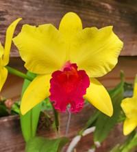 Orchid1 Cattleya.jpg